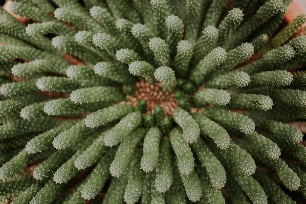 Vue de dessus d'une belle plante succulente de cactus