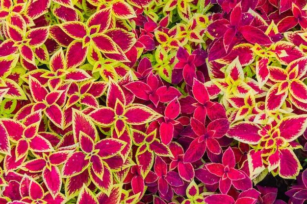 Vue de dessus de belles feuilles de fleur de bégonia.