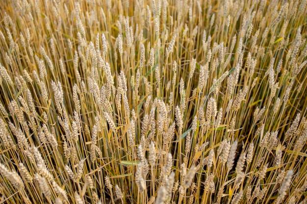 Vue de dessus de champ de blé d'or gros plan