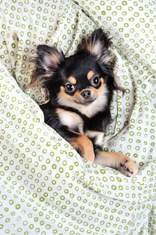 Vue de dessus de chihuahua sous la couverture