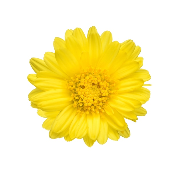 Vue de dessus d'un chrysanthème sur fond blanc