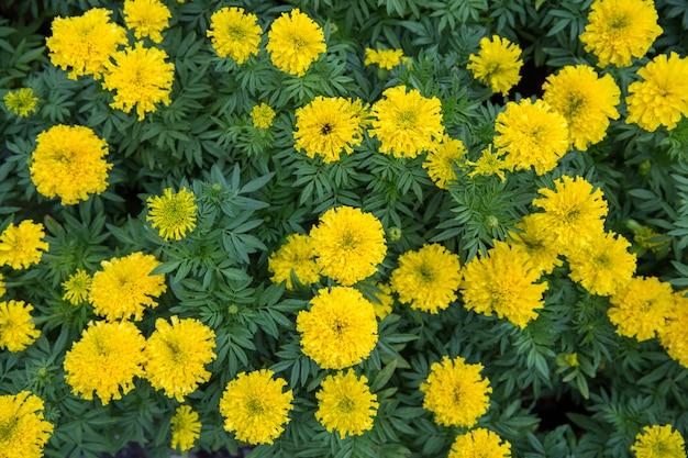 Vue de dessus de compositae marigold dans le parc, mise au point sélective