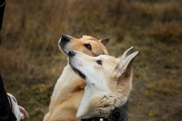 Vue de dessus à deux chiens à husky et chien bâtard rouge assis sur un pré vert