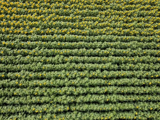 Vue de dessus du beau champ fleuri de tournesols dans les couleurs vertes et jaunes. vue panoramique depuis le drone. texture de fond de plante
