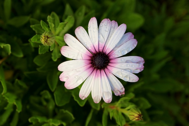 Vue de dessus du blanc avec des fleurs pourpres cape daisy avec les gouttes de pluie, île de pâques, chili