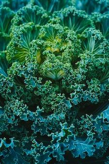 Vue de dessus du chou décoratif vert ressemblant à une grande fleur surnaturelle