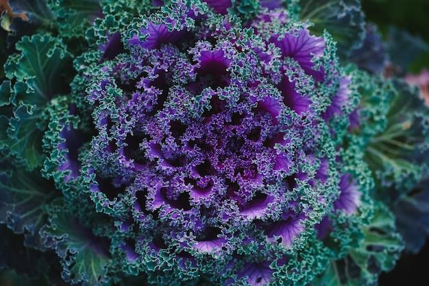 Vue de dessus du chou décoratif violet-vert ressemblant à une grande fleur sculptée