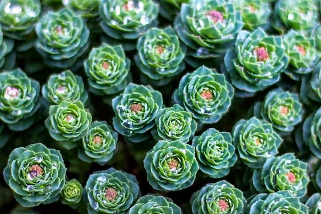 Vue de dessus du fond de plantes succulentes de jardin vert avec des gouttes d'eau
