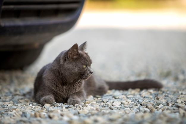 Vue de dessus du gris adulte grand chat paresseux somnolent à poil court aux yeux verts portant à l'extérieur sur de petits cailloux reposant sur l'arrière-plan flou ensoleillé de l'espace de copie.