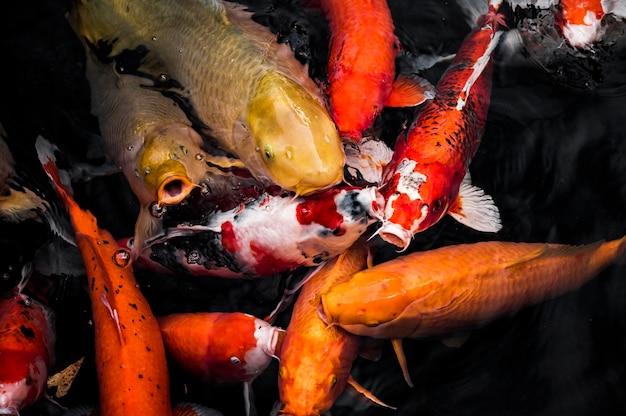 Vue de dessus du poisson koi