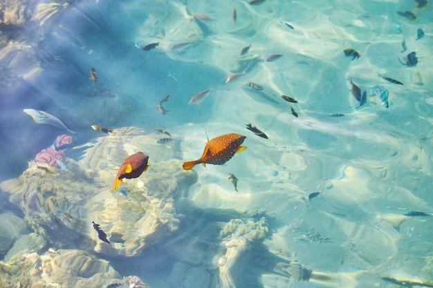 Vue de dessus du poisson vif sous la surface de l'eau cristalline de la mer.