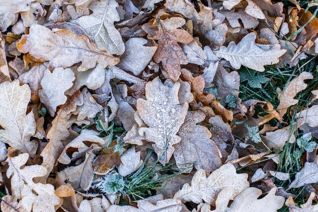Vue de dessus des feuilles de chêne jaune sèches congelées - fond naturel. matin d'hiver.