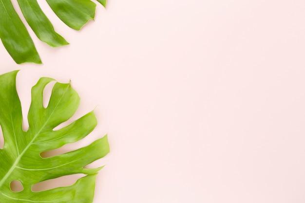 Vue de dessus des feuilles de monstera avec espace copie