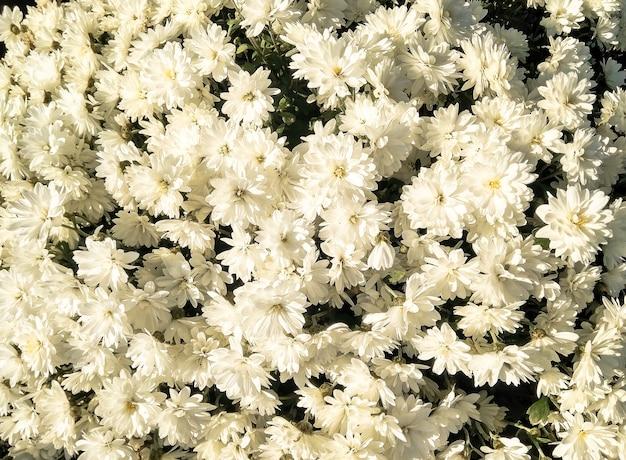 Vue de dessus des fleurs blanches. fond naturel