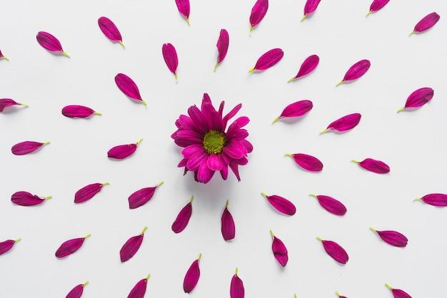 Vue de dessus des fleurs et des pétales