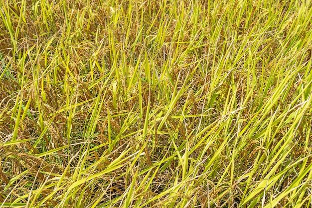 Vue de dessus fond de champ de riz jaune