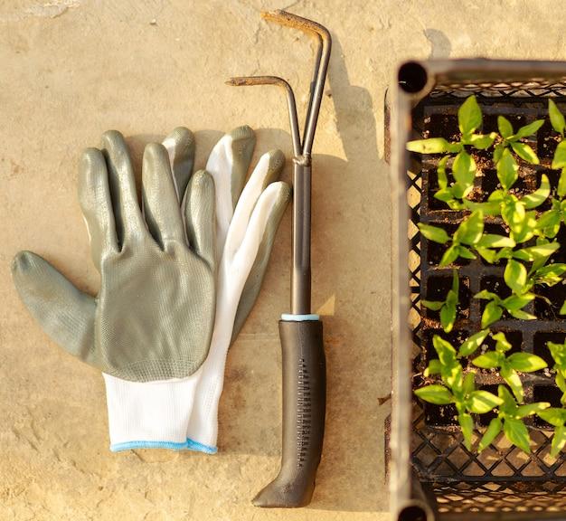 Vue de dessus des gants gris de jardinage, pousses de poivre, petit râteau sur fond de béton.plantation à la maison. concept de travail de jardin de printemps. autosuffisance.jardin domestique