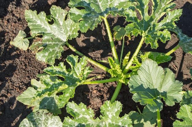 Vue de dessus des jeunes plants de courgettes biologiques. l'agriculture biologique. paillage des lits de légumes.