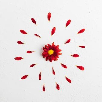 Vue de dessus de marguerite printanière colorée avec des pétales