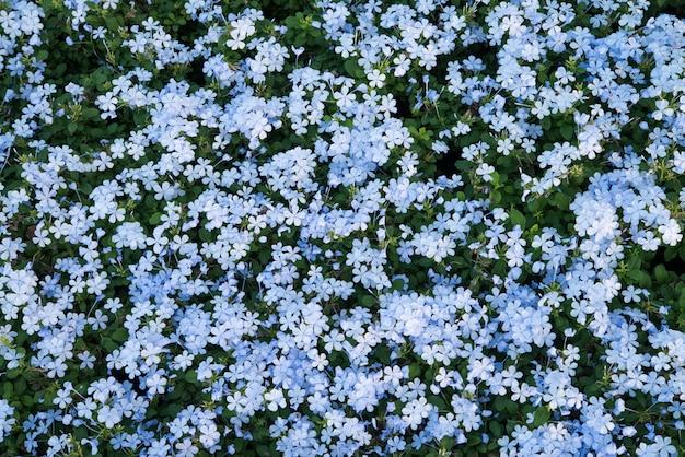 Vue de dessus de nombreux champs de fleurs de couleur bleue