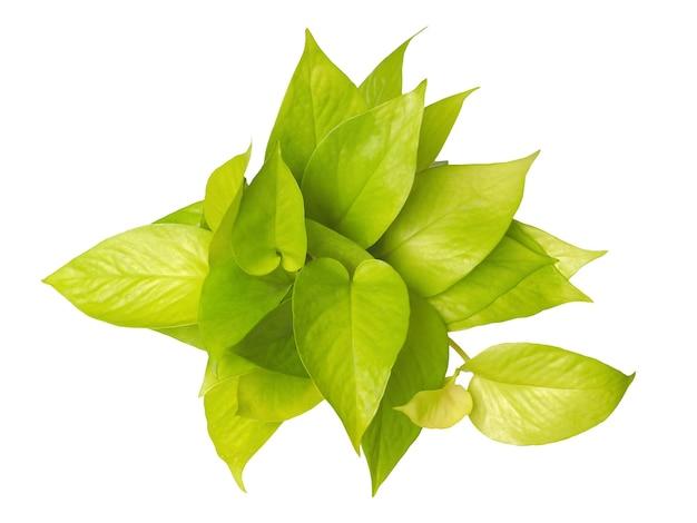 Vue de dessus de la plante grimpante pothos doré isolé sur fond blanc. forme de coeur de feuille naturelle.