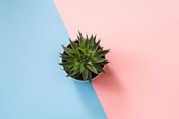 Vue de dessus à la plante succulente verte sur fond bleu-rose pastel.