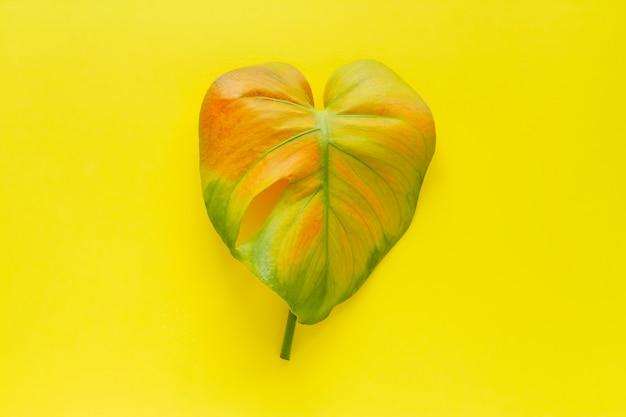 Vue de dessus plat feuille tropicale monstera multicolore isolé sur jaune
