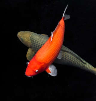 Vue de dessus poissons koi colorés