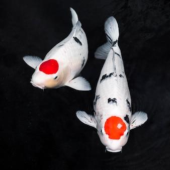 Vue de dessus des poissons koi