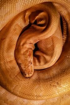 Vue de dessus en python jaune roulé