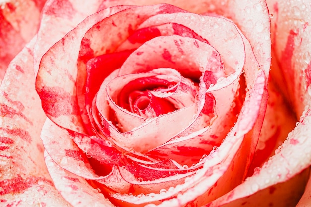 Vue de dessus rose close-up wallpaper