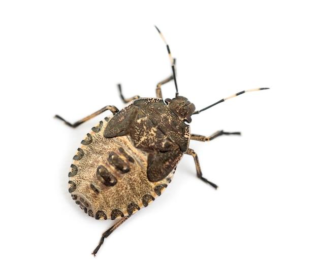 Vue de dessus d'un shield bug, troilus luridus, contre une surface blanche
