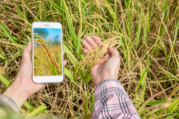Vue de dessus d'un téléphone intelligent dans la main avec du riz paddy dans les mains d'un agriculteur