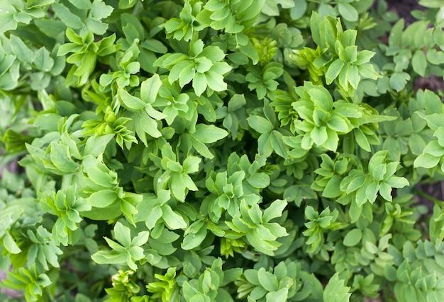 Vue de dessus de texture de feuilles vertes fraîches