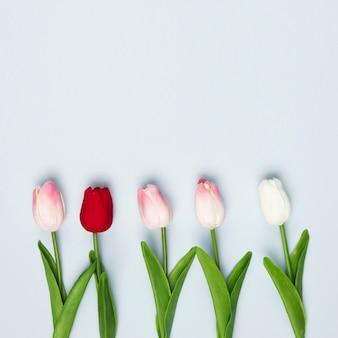 Vue de dessus des tulipes rouges et blanches