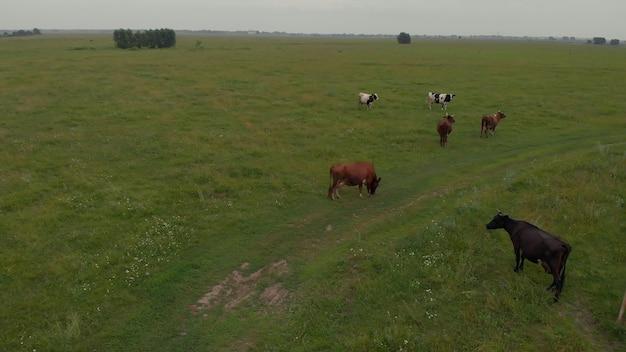 Vue de dessus des vaches dans un champ vert avec de beaux taureaux de troupeau de ciel bleu
