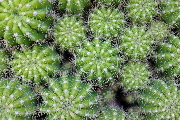 Vue de dessus vert coloré de nombreux cactus comme papier peint. concept de la nature.