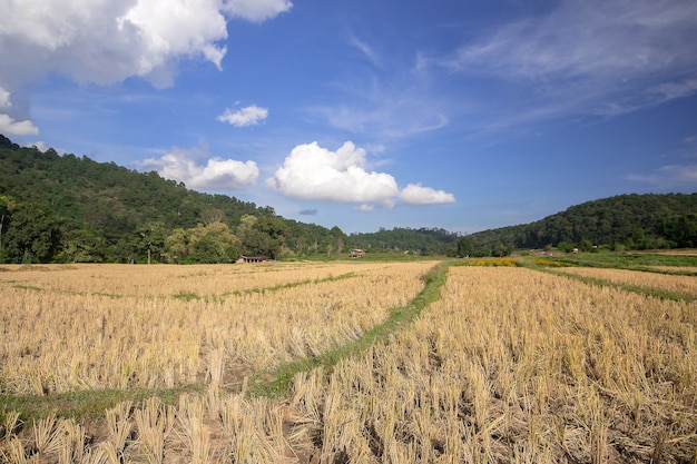 Vue du champ de riz