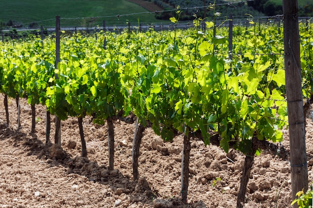 Vue du champ de vin et de raisin en italie