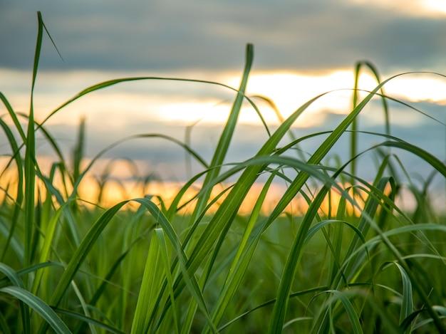 Vue du coucher de soleil sur la plantation de canne à sucre