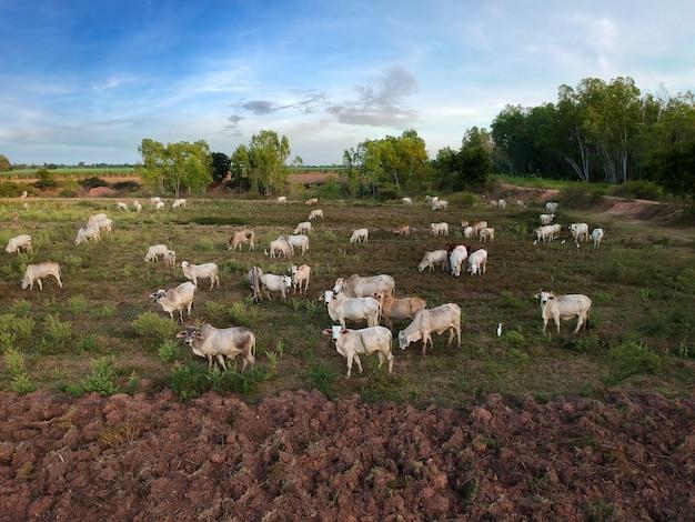 Vue du drone troupeau de bœuf domestique thaïlandais.
