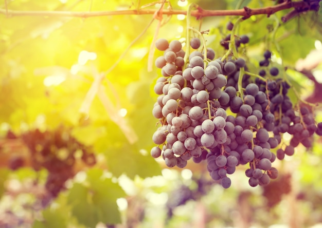 Vue du matin du raisin dans les vignobles au soleil