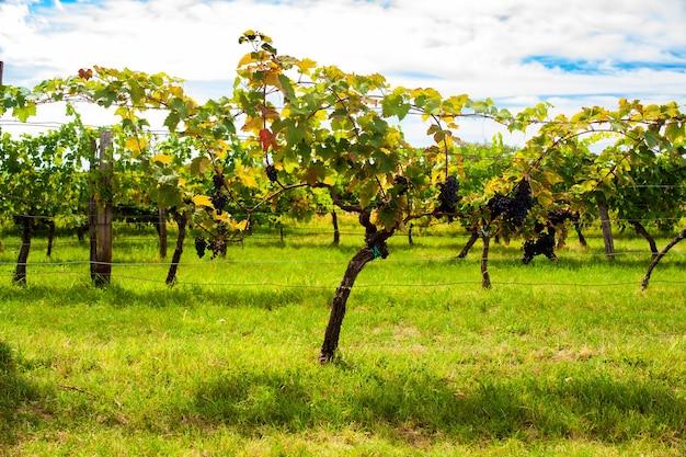 Vue du vignoble italien dans le trieste karst à la saison estivale