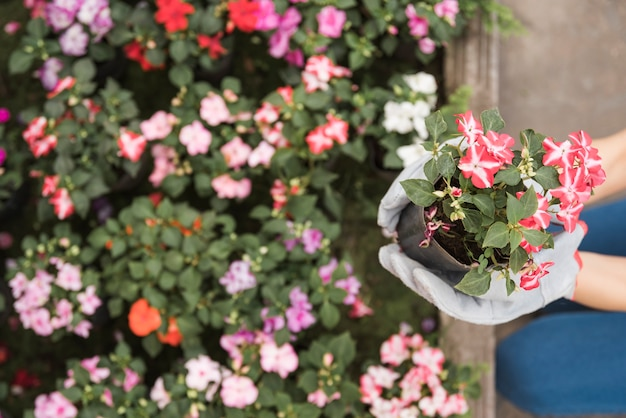 Une vue en élévation de la main du jardinier portant des gants gris tenant des plantes à fleurs
