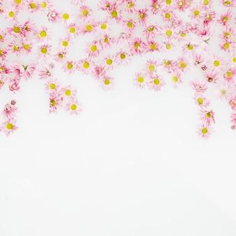 Vue élevée de belles fleurs roses sur fond blanc