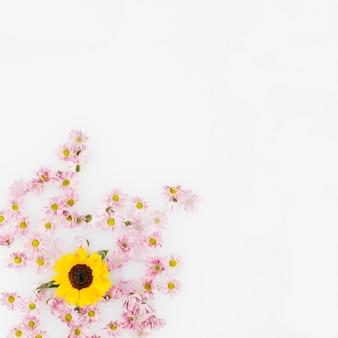 Vue élevée de fleur jaune et fleurs roses sur fond blanc