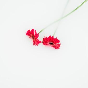 Vue élevée de fleurs rouges sur fond blanc