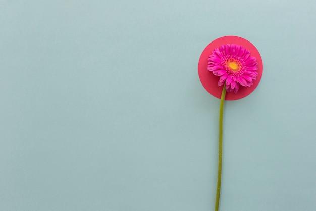 Vue élevée de gerbera rose sur papier de forme ronde sur fond gris