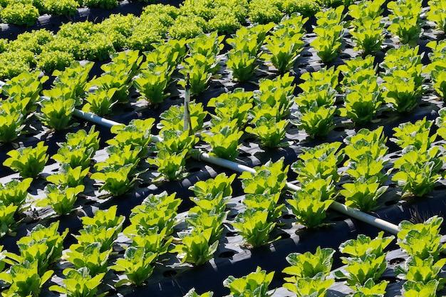 Vue d'ensemble de la plantation de laitue