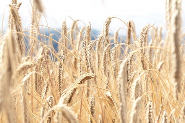 Vue des épillets de blé mûrs de couleur dorée qui poussent sur le champ. le concept de l'agriculture, la nature.